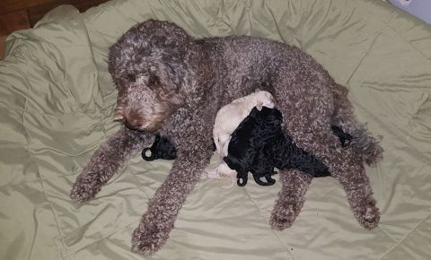 Miss Bella and her 5 day old Multigen Labradoodle puppies