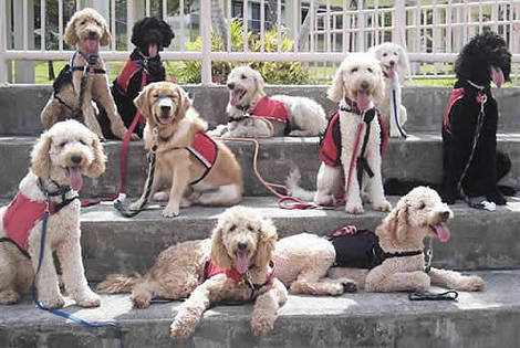 Group of Labradoodle Assistance Dogs