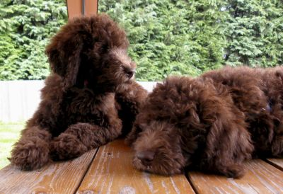 F1b Labradoodles from Dreamydoodles.com