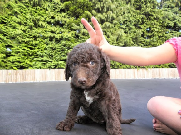 PEACE! - F1B LABRADOODLE PUPPY WITH MY DAUGHTER ON THE TRAMPOLINE