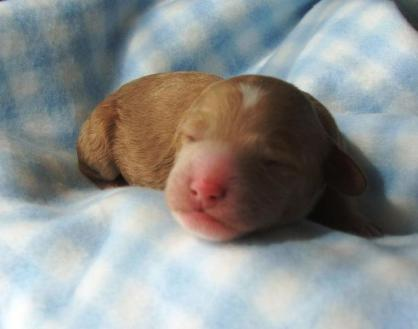 newborn boy puppy