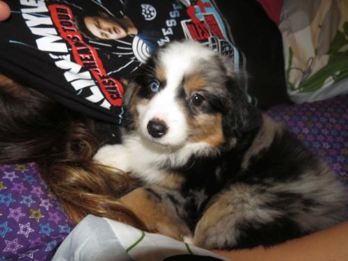 Adele - Toy Australian Shepherd - Future Breeding Female