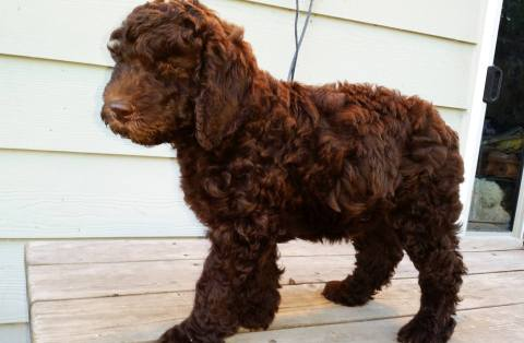 Bella - One of Loli and Hershey's daughters I kept and added to our breeding program