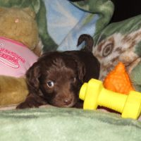 Yellow Collar Female 5 wks Mini Aussiedoodle