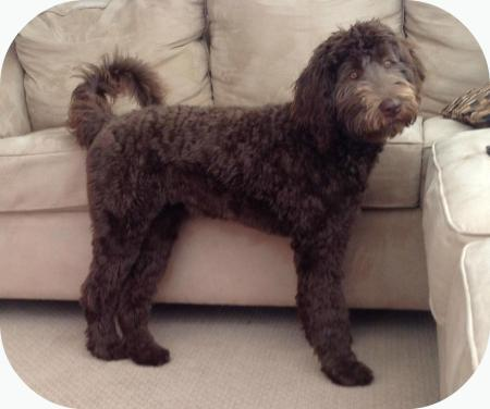 Coco - Multigen Labradoodle from last litter 50lbs