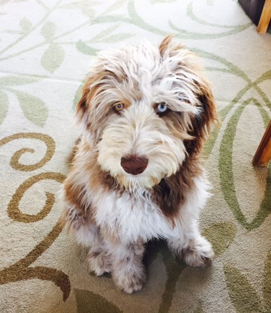 Hershey - Male Aussiedoodle from Daisy and Rally
