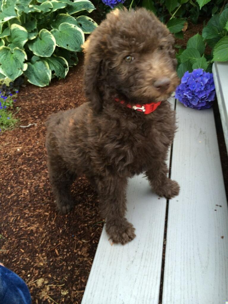 f1b labradoodle puppies for sale in washington  u2013 summer 2014