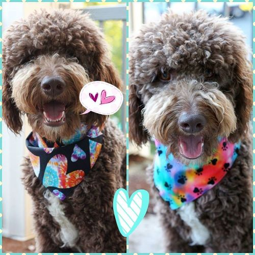 Brewski the Aussiedoodle in his fancy scarves!