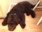 F1b Chocolate Labradoodle from Daisy