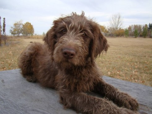 chocolate-f1-labradoodle-puppies-one-little-girl-left_3066095