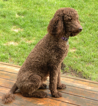 Daisy - Chocolate Standard Poodle