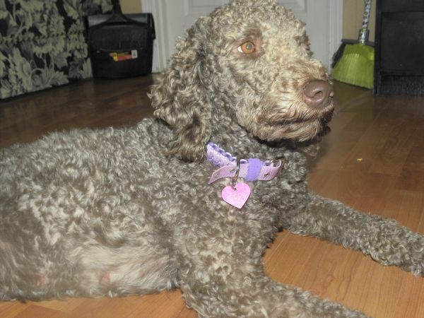 Tippy F1 Labradoodle - Cocoa color