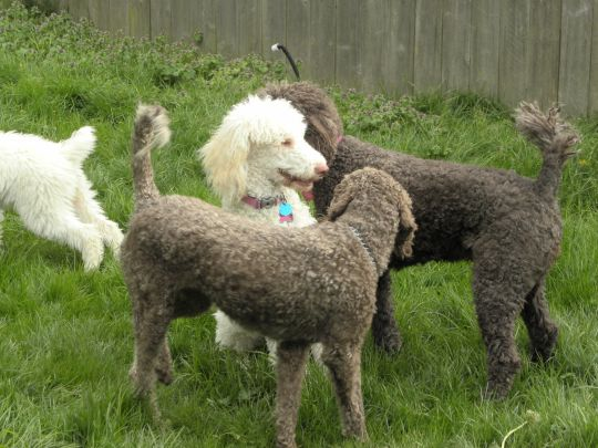 Three Females - this is the first meet up between the chocolate dogs and the white standard Poodle