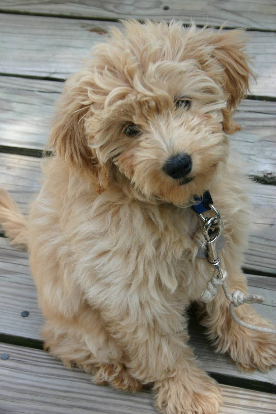 tess_goldendoodle_06
