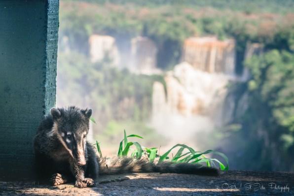 Coati brazil-iguazu-falls-1799