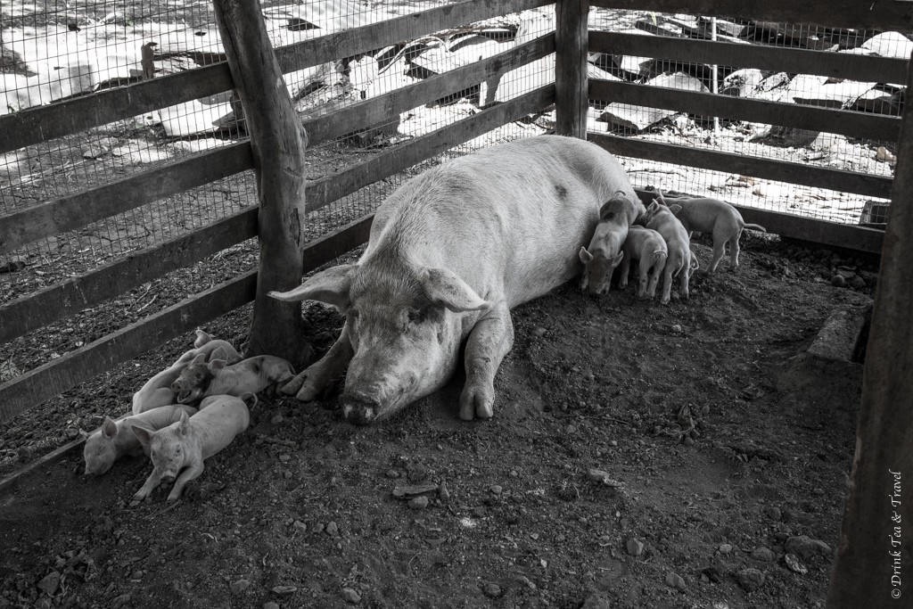 Mama pig with her babies inside the barn