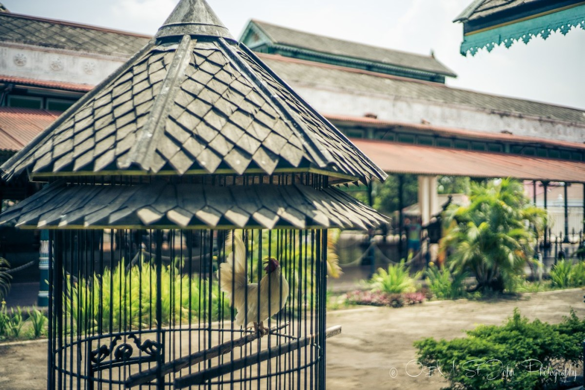 Chickens held in cages on the Kraton grounds. Yogyakarta, Java. Indonesia