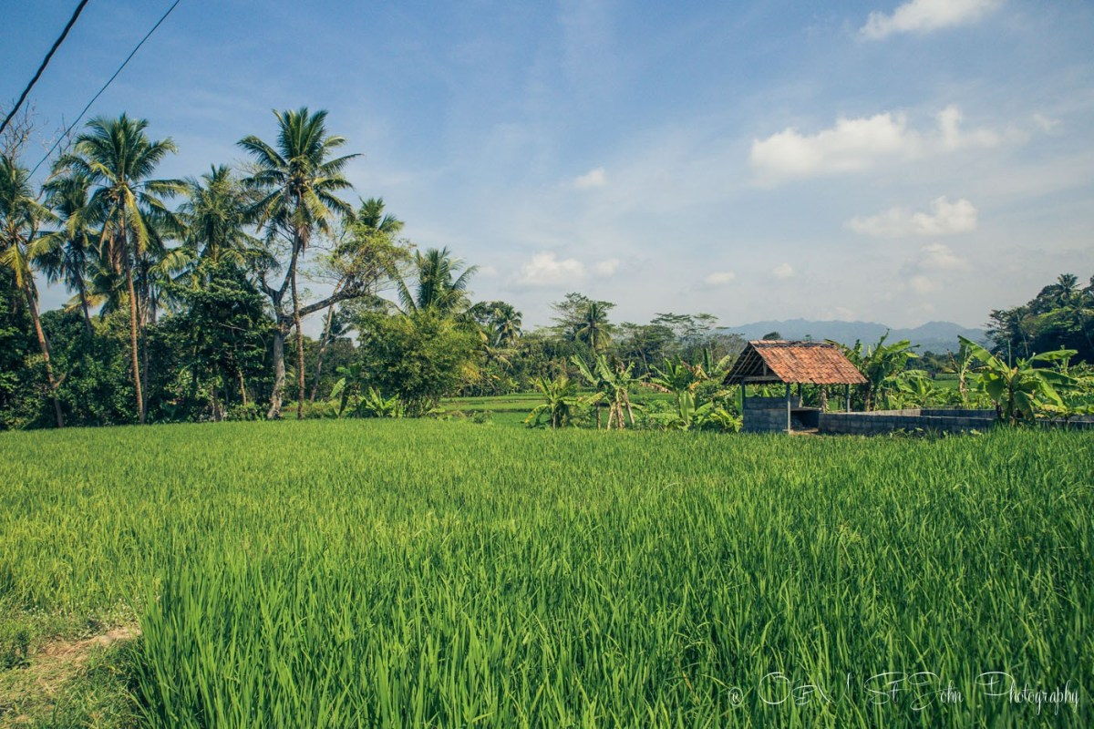 Rice paddies in Javanese country side. Central Java.