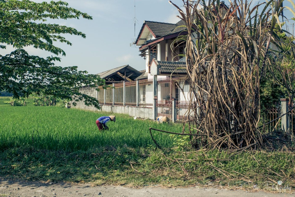 Locals working away in rice fields in Java countryside. Indonesia