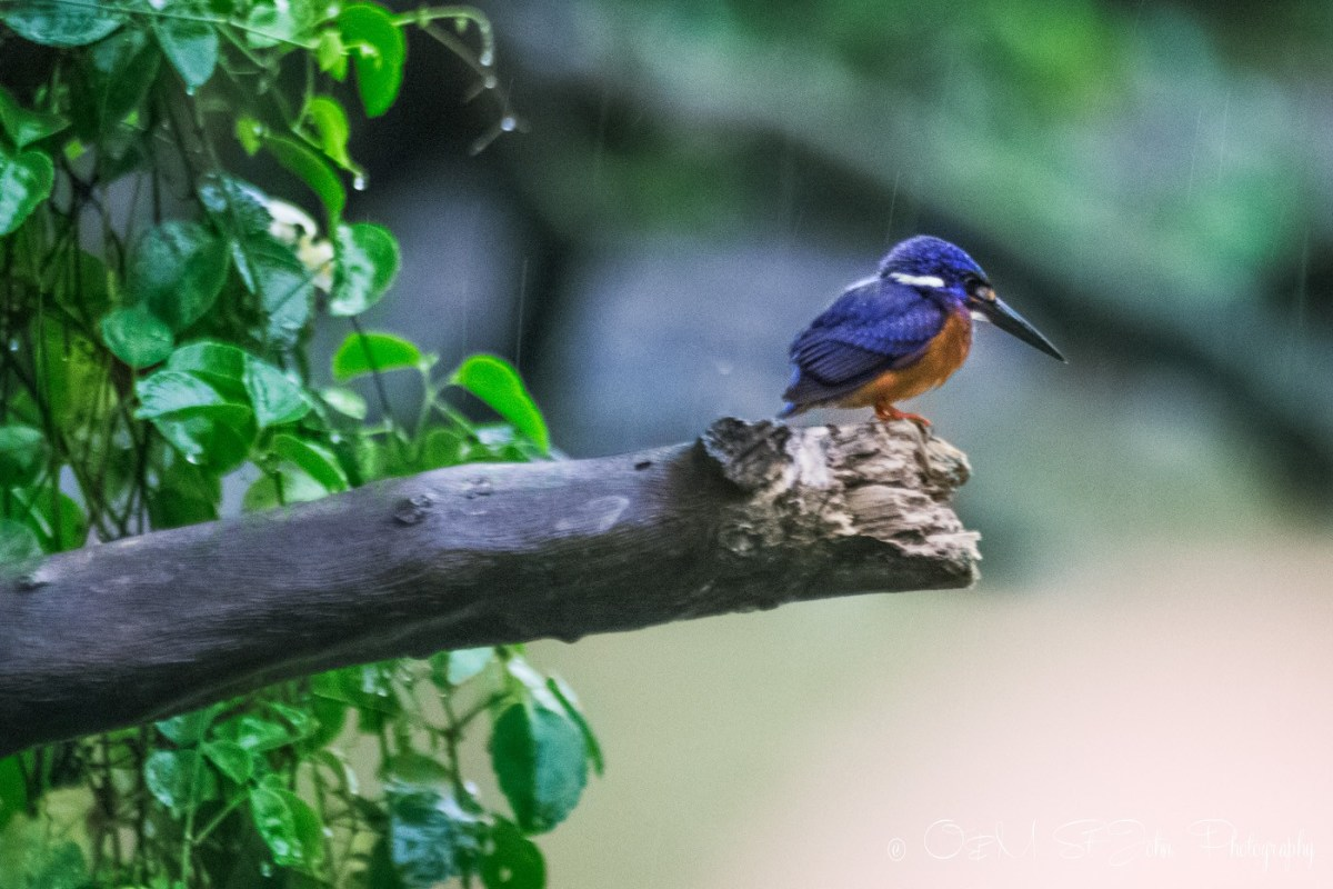 Kingfisher. Kinabatangan River. Sabah, Malaysian Borneo