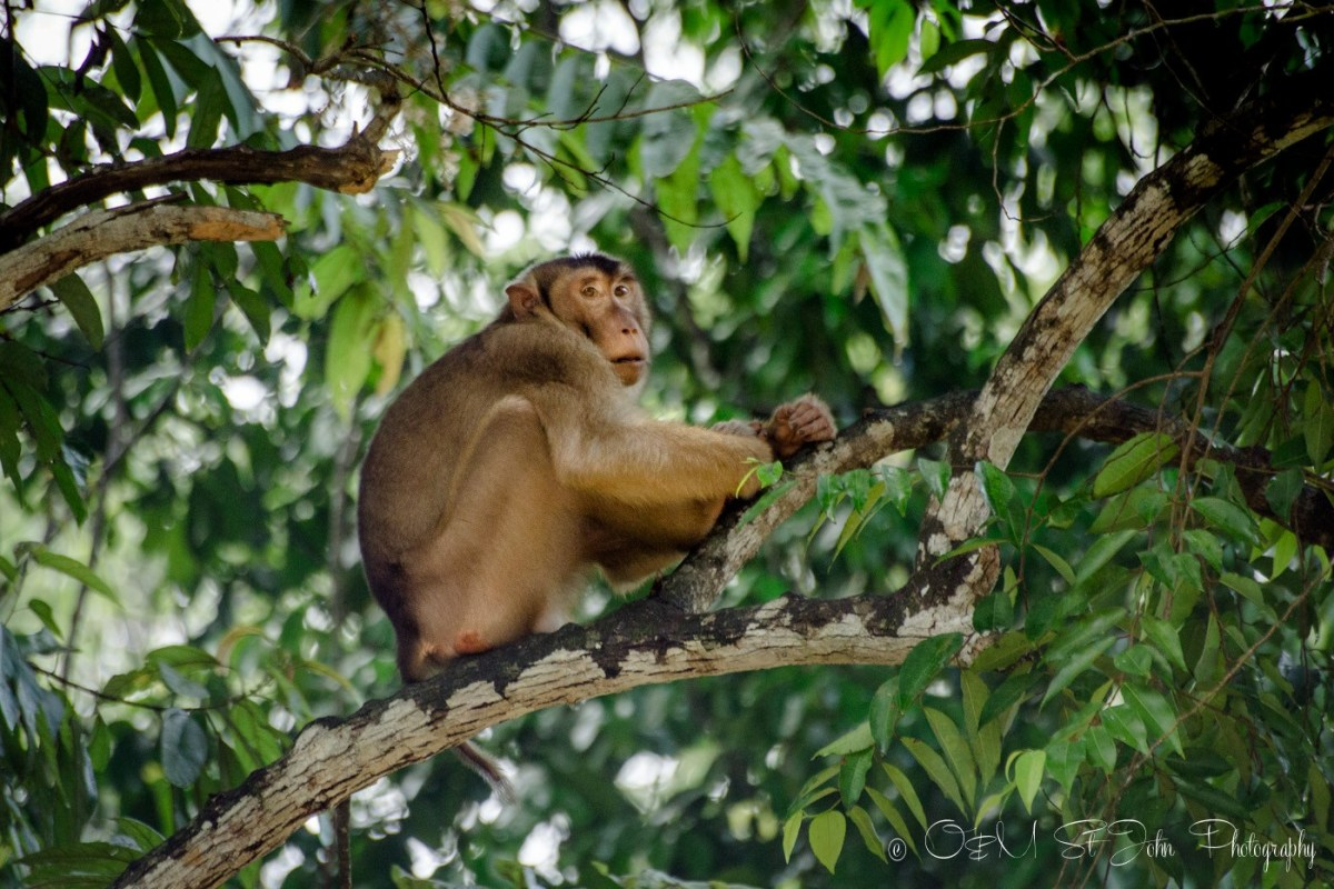 Short tailed macaque on Kinabatangan River. Sabah. Malaysian Borneo