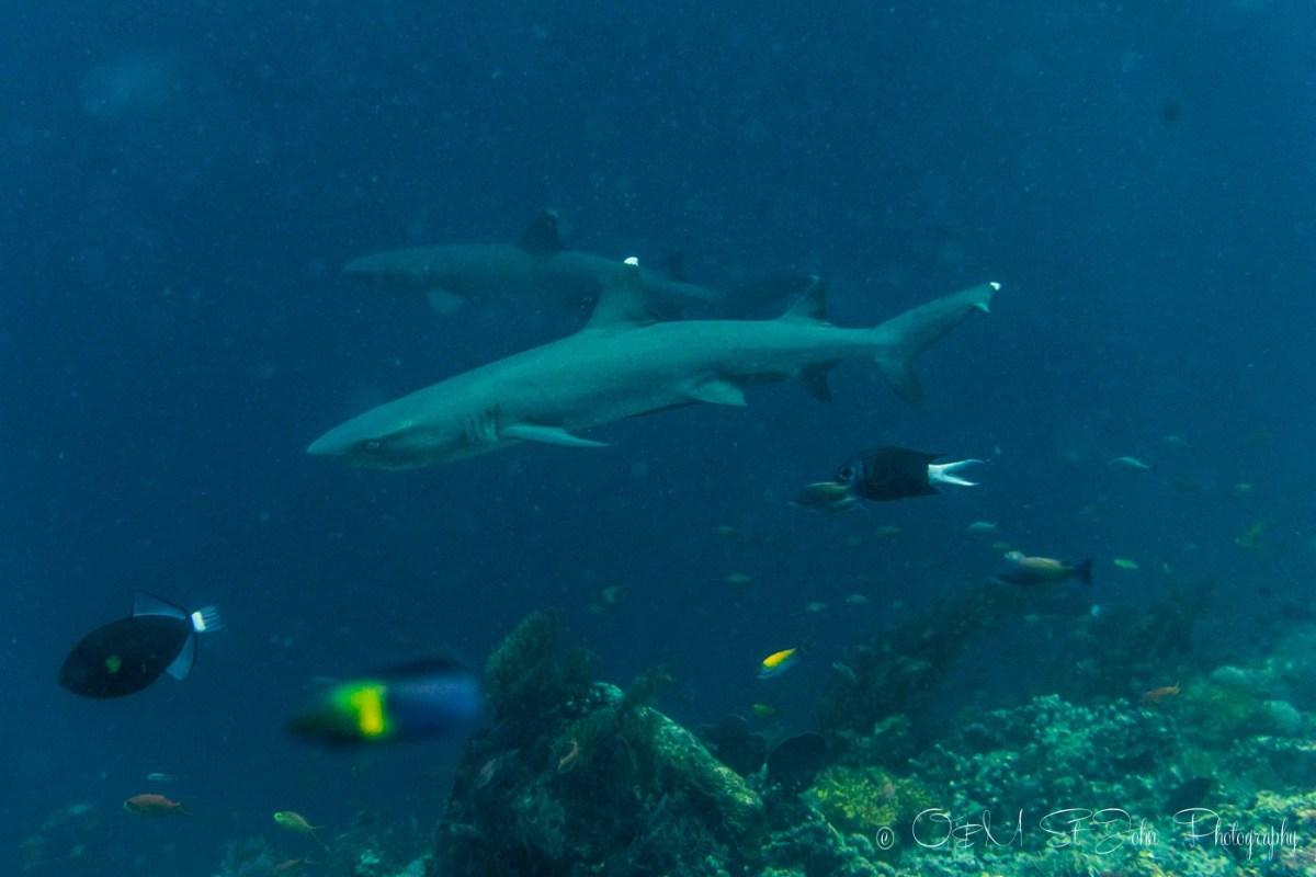 White and grey tip sharks at Barracuda Point. Sipadan Island Diving. Sabah. Malaysia