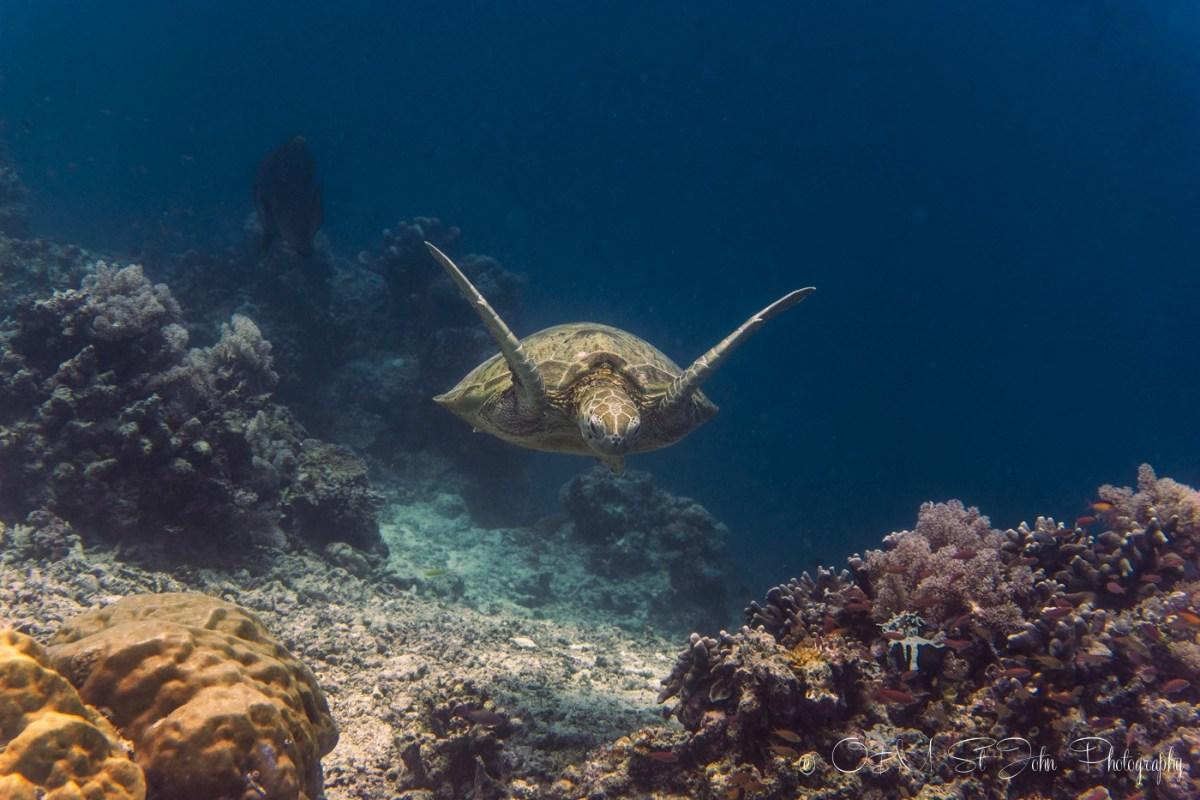 Green turtle. Diving in Sipadan Island. Sabah. Malaysia. Borneo