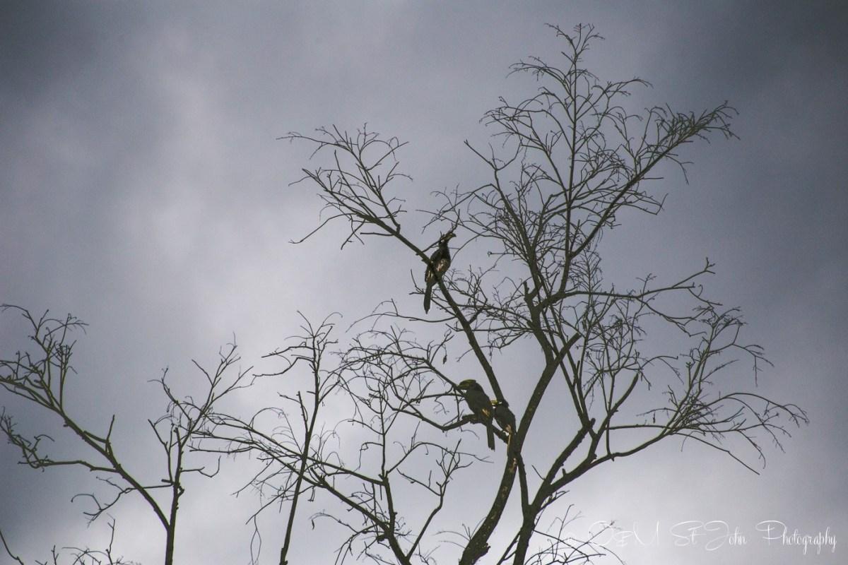 Hornbills on Kinabatangan River. Sabah. Malaysian Borneo