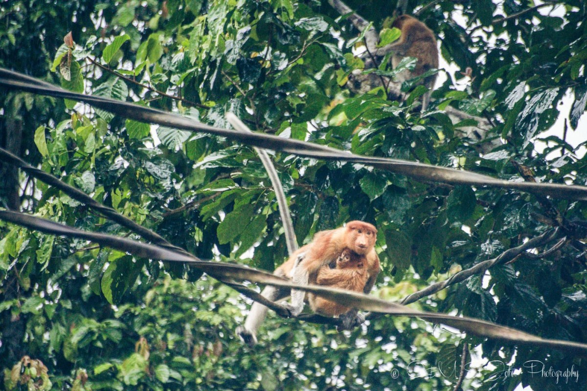 Proboscis monkey crossing the Kinabatangan river in Sabah, Malaysian Borneo