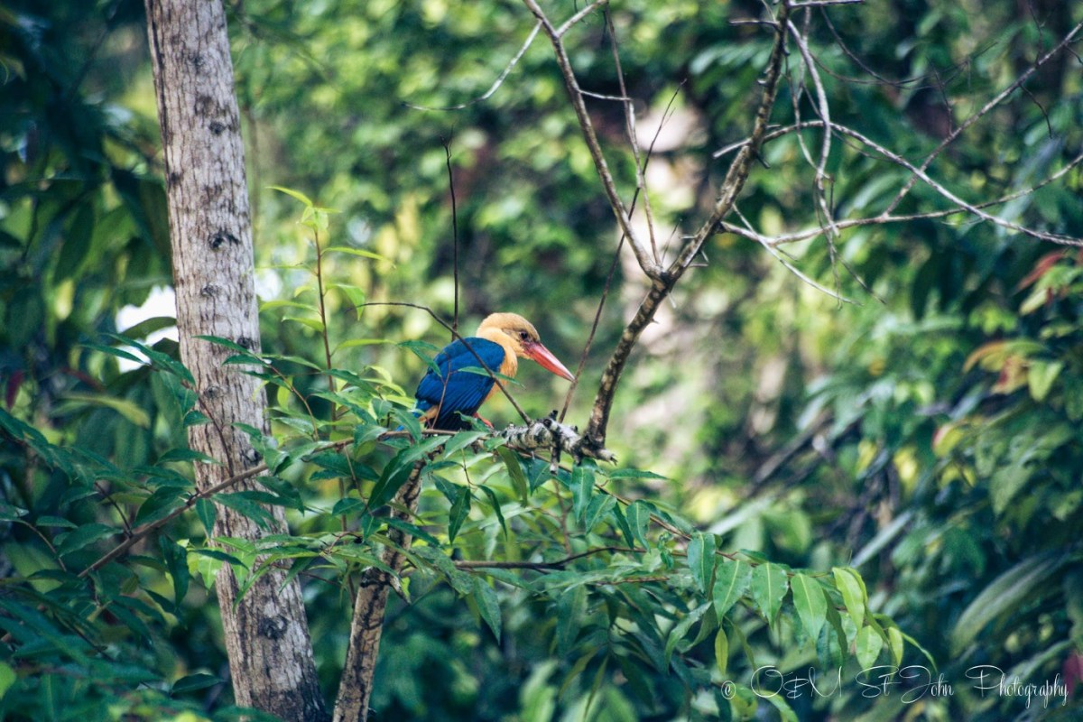 Stork-billed Kingfisher on Kinabatangan River. Sabah. Malaysian Borneo