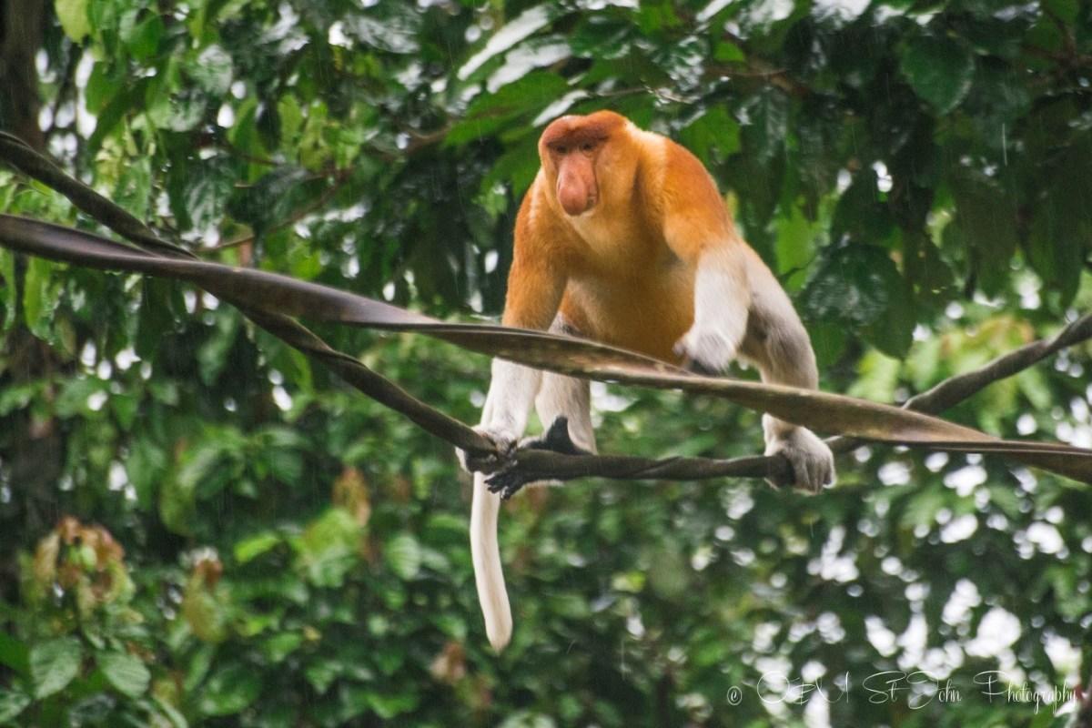 Proboscis monkey crossing the Kinatabangan River. Sabah. Malaysia