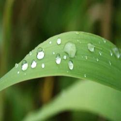 Aloe Leaf
