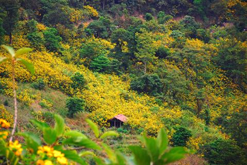Hoa dã quỳ Điện Biên