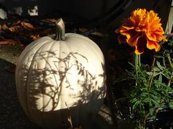 white pumpkin near orange flower