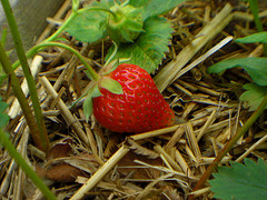 single strawberry in patch