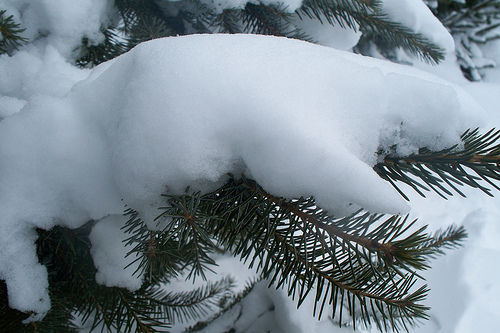 snow piled on pine branch