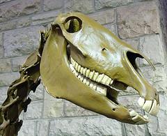 skull and neck of dinosaur