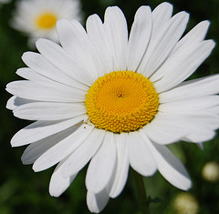 close up of white daisy with yellow center