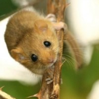 Dormouse could hold up Woodside housing plans