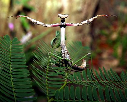 praying_mantis_in_defense_pose