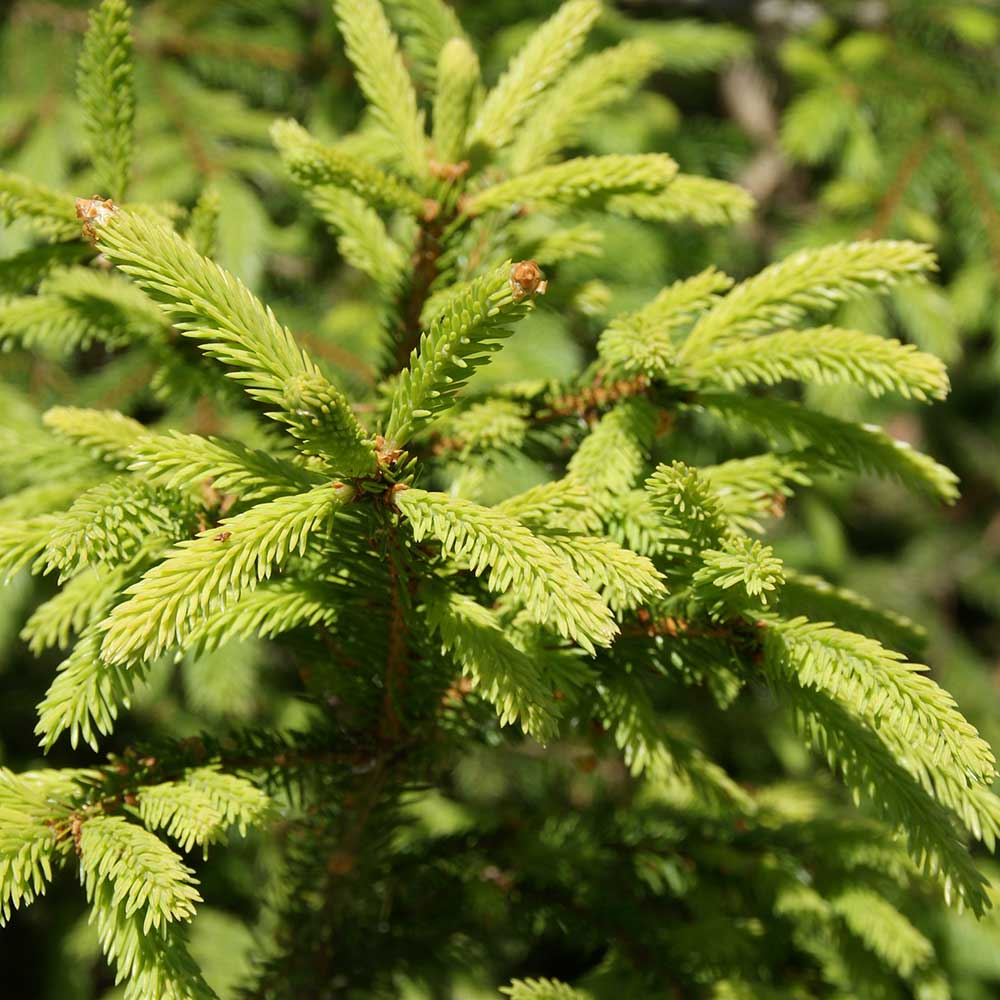Beautiful Norway Spruce Tree Norway Spruce Real Free Delivery Order ...