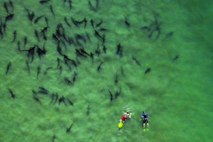 Tiburones-leopardo-en-La-Jolla_54377364386_54115221152_960_640
