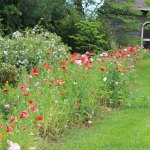 A poppy border lined the yard at the Walker and Suzanne Holmes home in the spring.  Suzanne is our new garden writer and she tells about those poppies in her first article, found on page 2 of this week's print edition.