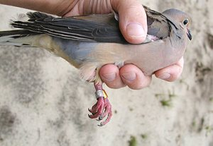 banded-mourning-dove