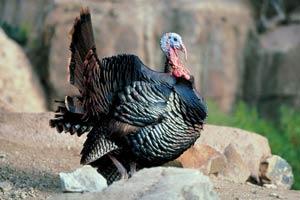 wild-turkey-9
