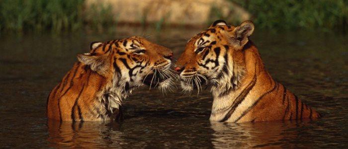 Tigers - image credits WWF