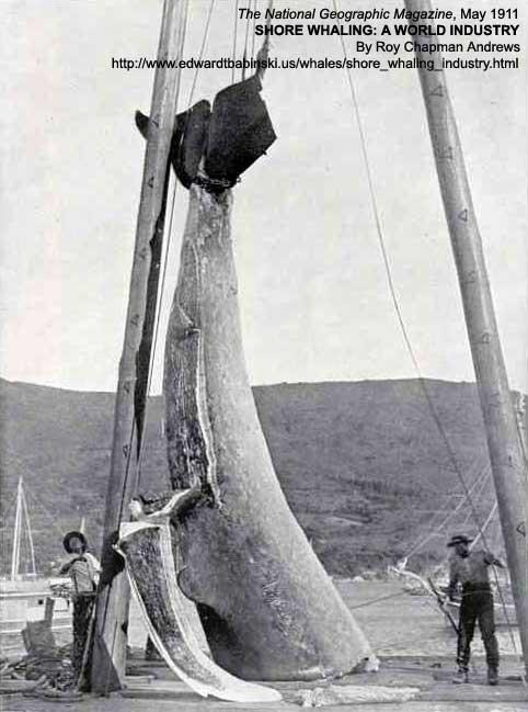 Sardine Whale