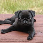 Photo By Alert Pug Puppy