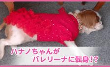 ペットに洋服はYES or NO? 愛犬のオシャレが周りを癒す、TRINITYワンコのオシャレ大特集。爆笑動画編!