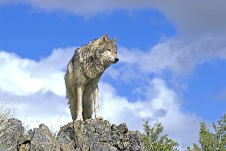 伽座守珊瑚の開運『狼語り狐語り』第15話~狼眷族と狐眷族。人間社会への影響。神仏との繋がり……